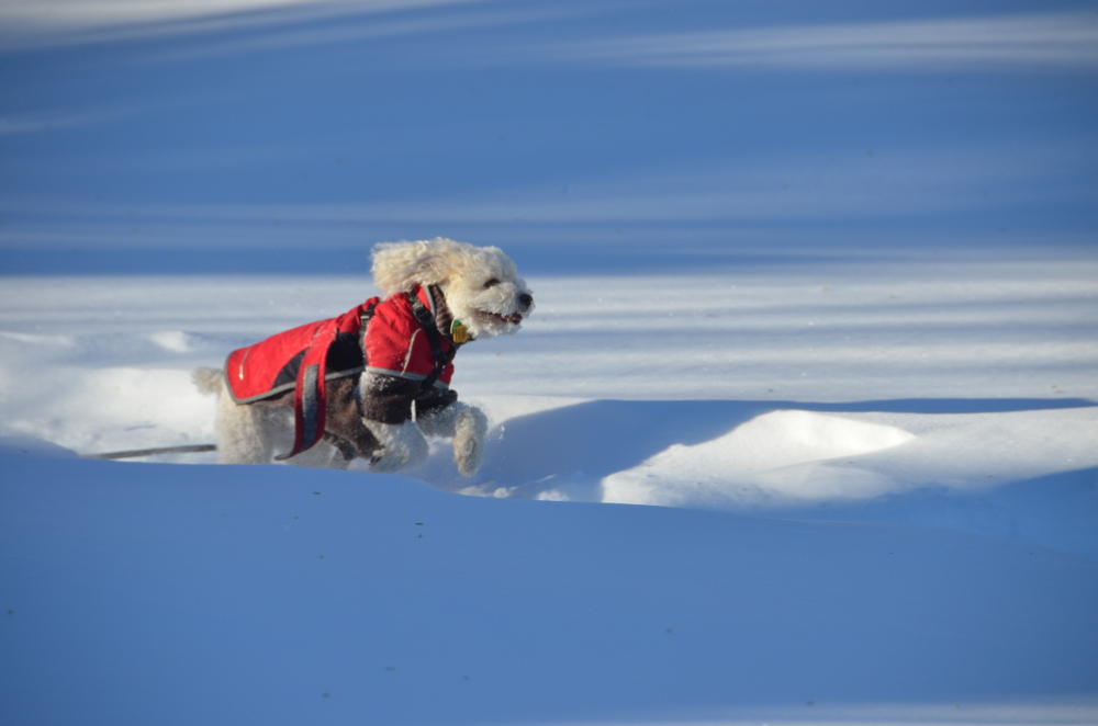 Snow dog Romeo on a romp! (Read more about Romeo)