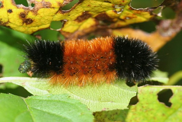 Woolly bear caterpillar. (photo courtesy of Wikimedia Commons, by user IronChris)