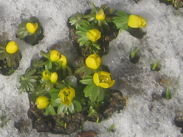Yellow aconite (photo by Marjorie Rachlin)