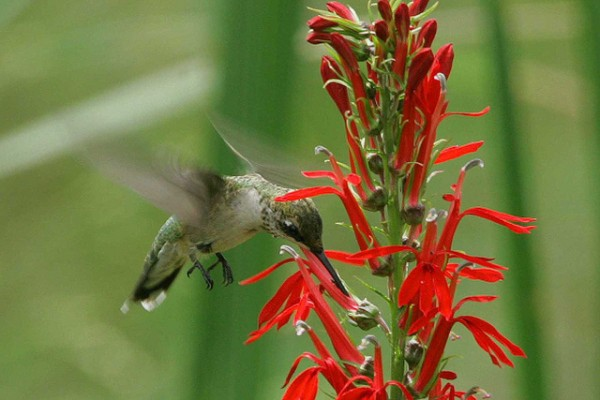 A female ruby-throated hummingbird at a cardinal flower, John Heinz National Wildlife Refuge in Philadelphia. (photo by Bill Buchanan/US Fish & Wildlife Service)