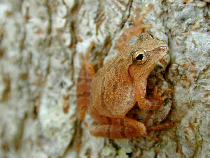 Spring peeper (photo from the U.S. Geological Survey)