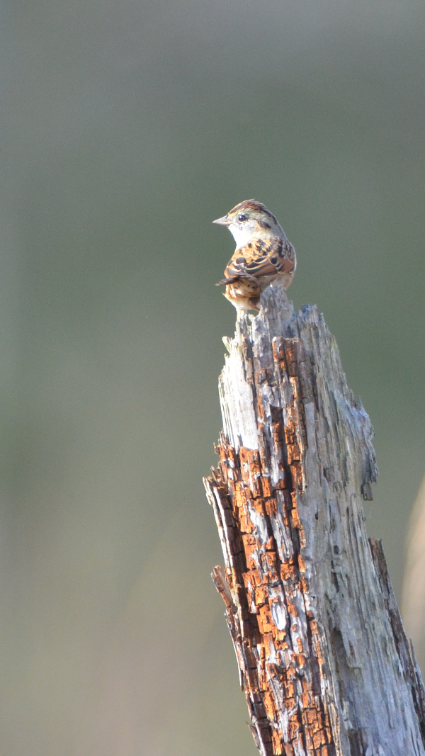 A swamp sparrow in the marsh.