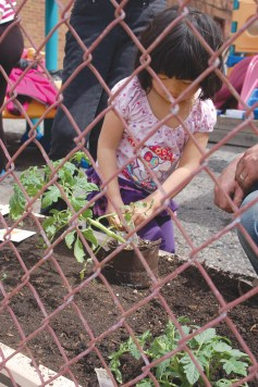Charlotte helps to plant a Beefsteak tomato seedling in the new vegetable bed created by her father Seamus Ford of Root Riot Urban Gardens at Kangaroo Corner Daycare on Saturday, May 4.Photos by JEAN LOTUS/Staff