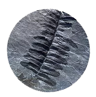 Fossils in our backyard: Life from a 300 million- year-old coal forest in Illinois