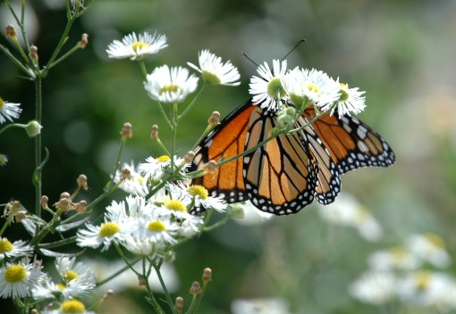 A monarch butterfly is seen on a plant at Micki Leventhal's home. | Photo courtesy of Con Buckley