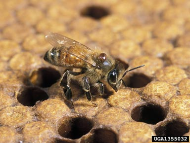 honey bee varroa mite (Varroa destructor ) on honey bee (Apis mellifera )