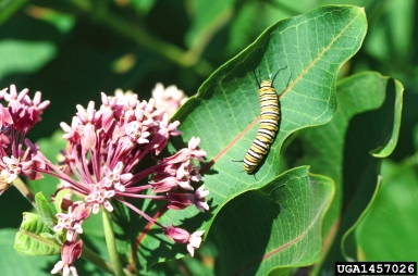 monarch butterfly, Danaus plexippus  (Lepidoptera: Nymphalidae)