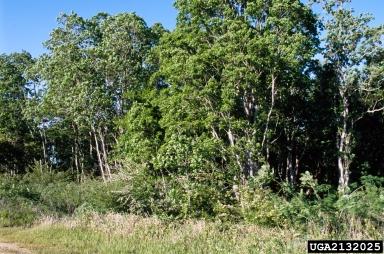 Chinese tallowtree, Triadica sebifera  (Euphorbiales: Euphorbiaceae)