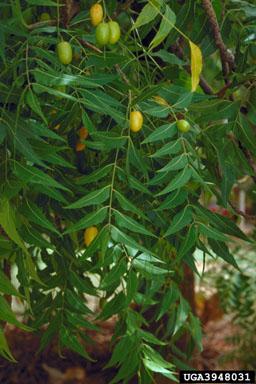 neem, Azadirachta indica  (Sapindales: Meliaceae)