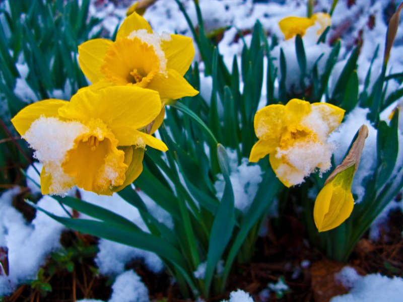 Snow Covered Spring Daffodil Flowers   Flowers  Free Nature Pictures     Snow Covered Spring Daffodil Flowers