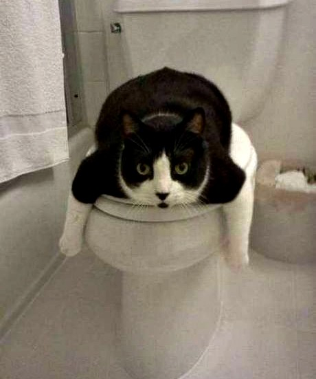 cat-on-toilet