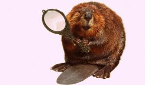 Beaver in the mirror