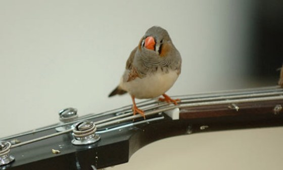 Bird on guitar