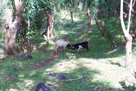 These goats were getting their ram on, right in the middle of the path