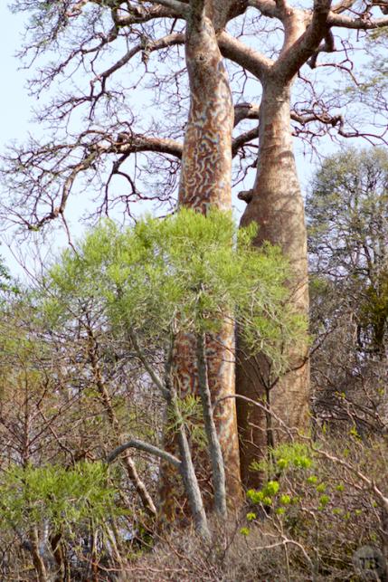 Painted Baobab tree