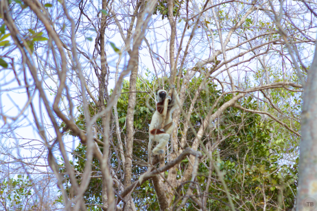 Our last lemur sighting
