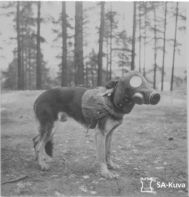 Finnish dog wearing a canine gas mask during the Winter War