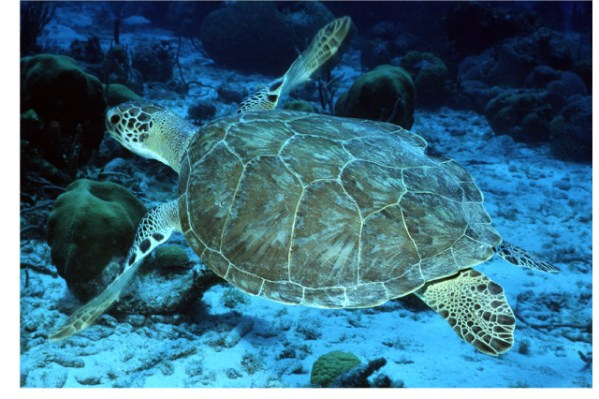 Threatened Green sea turtle