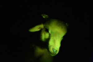 Cloned animals glow green under black light.