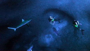 OAA scientific divers Jason Leonard and Daniel Wagner descending to a cave at 250 feet at Pearl and Hermes Atoll.  Accompanying them are a white ulua (Caranx ignobilis) and a Galapagos shark (Carcharhinus galapagensis).
