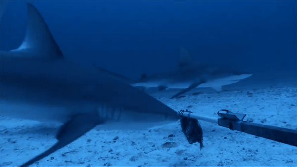 Baited Remote Underwater Video System (BRUVS) are baited camera stations used to assess large predator abundances at depths between 150 and 300 feet. These large Galapagos sharks were filmed at Pearl and Hermes Atoll.
