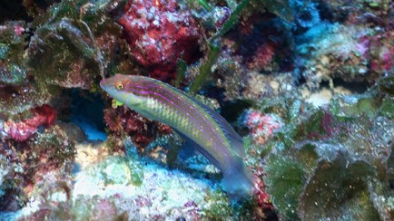 An unidentified wrasse in the genus Suezichthys, photographed at 180 feet at Pearl and Hermes Atoll. Scientists at the Bishop Museum will compare it to all known species of this genus to confirm that it is in fact a new species (one not previously known to science).