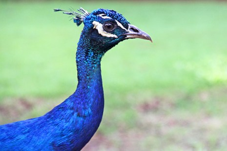 A peacock has a gorgeous tail, made with stuff from fairy tales, but the entire bird is actually a walking piece of art, like this one here at Smith's Tropical Paradise in Wailua.