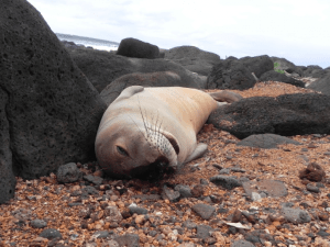 Monk seal pup