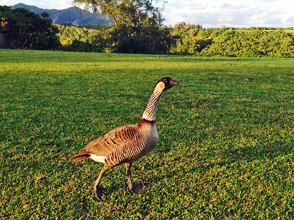 The endemic nene goose made an extraordinary comeback from the brink of extinction in the 1950s, when there were less than 40 birds in existence. Thanks to conservation efforts and captive breeding, there are now an estimated 2,500 nene. It's common to see them on Kaua'i, and many of them have identification rings wrapped around both their ankles. This particular one, seen in Kapahi, must've been born in the wild, as it doesn't have any ID rings. It was also making a heck of a lot noise when this picture was taken.