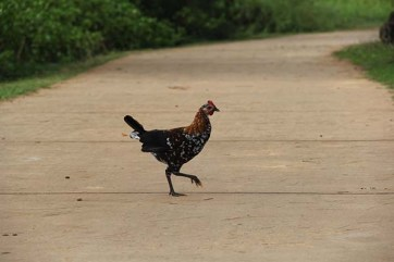Kaua'i's unofficial bird, the feral chicken.