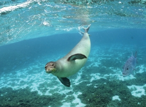 Hawaiian monk seal. Photo courtesy of NOAA