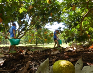 Volunteers David Hubbard and Carina Squire working in the Breadfruit Research Orchard in the McBryde Garden at NTBG. Photo by Amy Langley, courtesy of the Breadfruit Institute