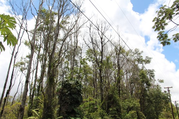 An 'ohia forest decimated by Ceratocystis wilt (Rapid Ohia Death) in Puna. Photo by J. B. Friday, University of Hawai'i