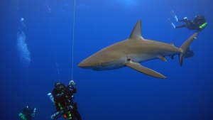 Galapagos Shark on Deco Pioneer Bank. Photo NOAA