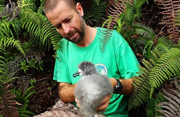 History in the Making: André Raine from Kauaʻi Endangered Seabird Recovery Project removes a Hawaiian Petrel chick from burrow for translocation. Photo by Mike McFarlin