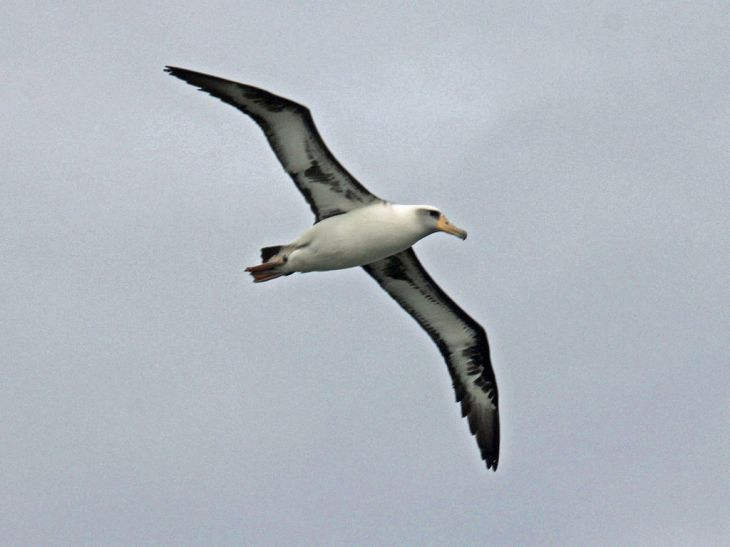 A Laysan albatross flying in Kilauea, Kaua'i's North Shore. Photo by Dick Daniels