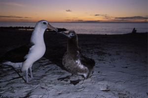 A Laysan albtross feeding its chick, on Midway Atoll. Photo by Ryan Hagerty/US Fish and Wildlife