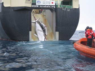 A mother and a calf are seen here being pulled into Japanese whale processing ship Nisshin Maru.