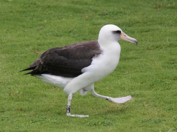 A Laysan albatross walking on a field in Princeville, Kaua'i's North Shore. Photo by Dick Daniels