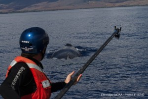 NOAA staff is seen here using cameras on the end of poles to document the health of the entire animal. Courtesy S. Eldridge – HIHWNMS/ NOAA Permit # 15240