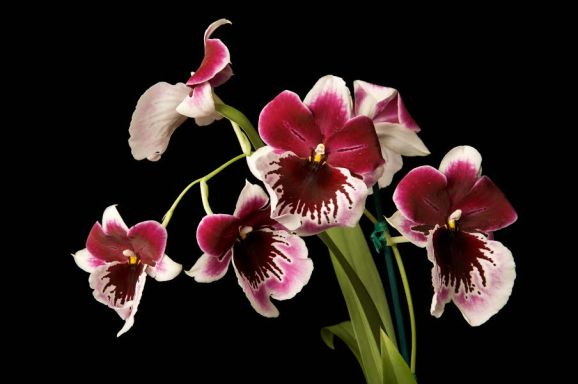 Milt. Lennart Karl Gottling 'Red' – Owner Gewn Teragawa102 Phrag. Calurum – Owner Orchid Alley