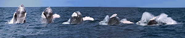 Photo montage of a humpback whale jumping courtesy of Kalasara Setaysha/Koholā Leo