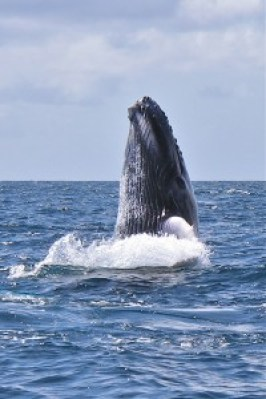 A humpback whale peaks its head out of the water. Photo courtesy of Kalasara Setaysha/Koholā Leo