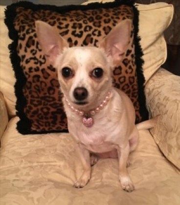 Francesca, a former self-appointed Diva, now a Divine Chihuahua.