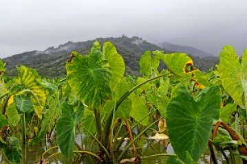 Hanalei taro fields. Photo by Léo Azambuja