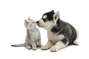 Cute puppy kissing kitten for Animal Chat clear background