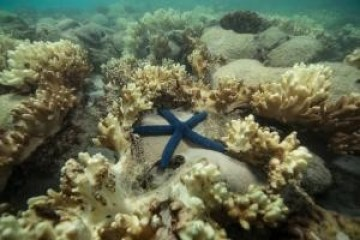 Starfish surrounded by decomposing coral on the Great Barrier Reef. Photo by XL Catlin Seaview Survey