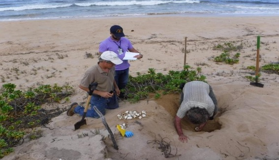 PMRF and State Biologists excavate a turtle nest at PMRF. (PMRF file photo)