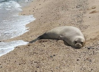 A juvenile Hawaiian monk seal like this one at Miloli'i, Napali Coast, may be too cute to resist, but DLNR is saying humans should keep their distance from this and other species of wild creatures.
