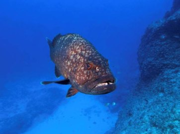 The Hawaiian grouper (Hyporthodus quernus, hāpuʻu in Hawaiian) is endemic to the Hawaiian Archipelago and is most common around Midway and Kure Atoll, but very rarely seen on the other Hawaiian Islands. Adults can reach impressive sizes of up to 4 ft. in length and 50 lbs. in weight. Although this grouper can occasionally be seen by snorkelers or SCUBA divers, it prefers much deeper waters and has been spotted as deep as 380 ft. The Hawaiian grouper is carnivorous and feeds on fishes and large invertebrates. Photo by Greg McFall